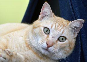 toxoplasma gat